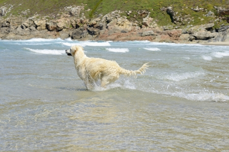 Golden retriever runs and jump in the sea  photo