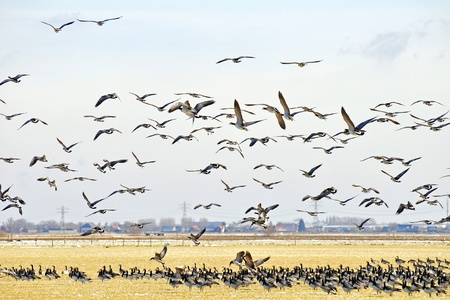 flock of geese flying up Stock Photo - 15935885
