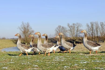 flock of geese on winter landscape photo