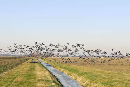 geese flying up from winter farmland Stock Photo - 15932297