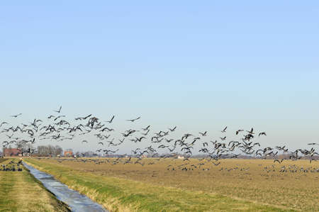 geese flying up from winter farmland Stock Photo - 15932290