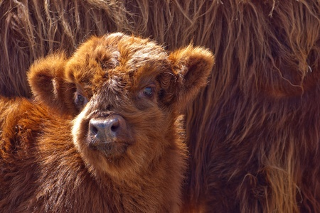 highland cattle calf Stock Photo - 15935164