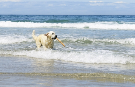 golden retriever dog with stick in the sea  photo