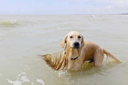 golden retriever in the beach photo