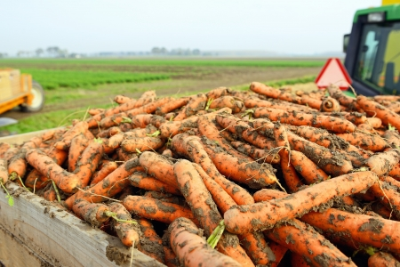 harvest of carrots
