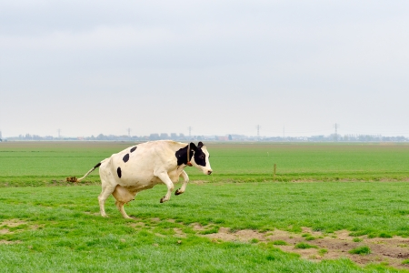 jumping cow in green meadow