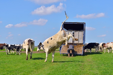 cow jumps after livestock transport in meadow photo