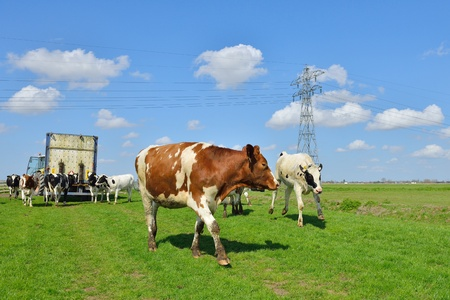 cows walking out of livestock transport truck in meadow