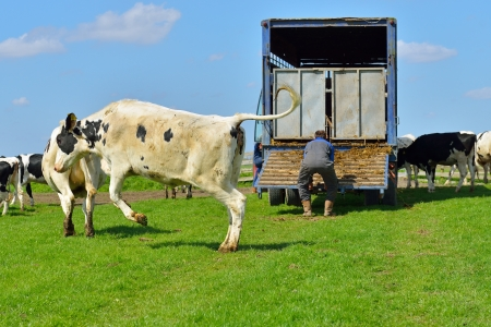 cattle of cows walking out of livestock transport truck in meadow  photo