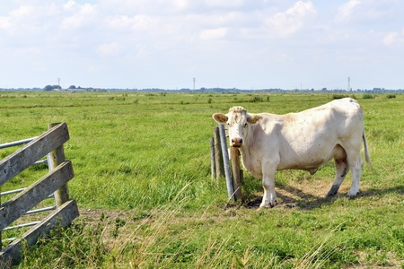 cow standing in green summer field  photo