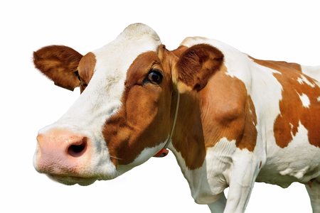 humor: cow isolated on white