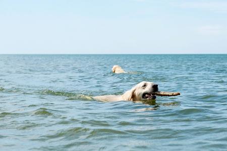 domestication: Dogs swimming in the sea Stock Photo