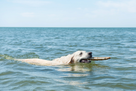 domestication: Dog swimming in blue sea