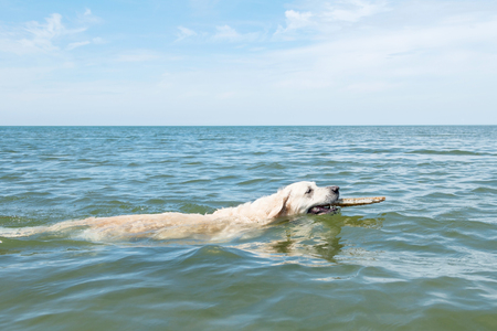 domestication: Dog swimming in blue ocean Stock Photo