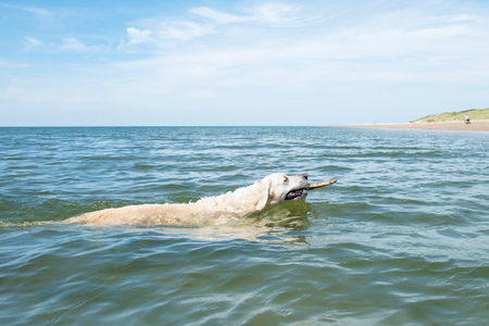 domestication: Golden Retriever swimming near the beach