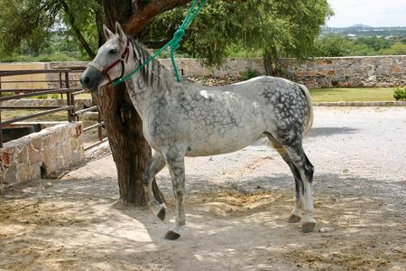 Pinto horse in Mexico Stock Photo