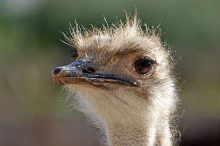 naturaleza: Avestruz curiosa ante la cámara, enfoque de la cabeza.