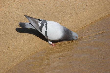 Dove drinking water background. Banco de Imagens