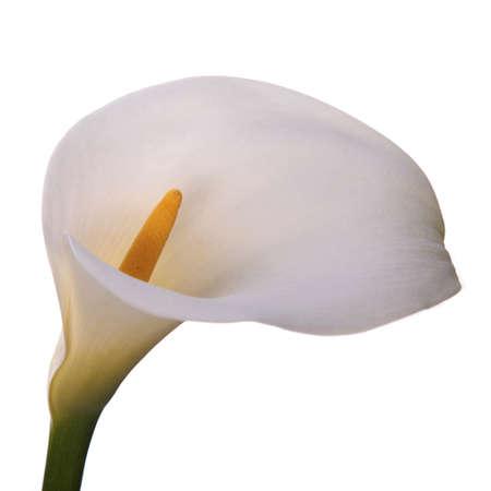 Fleurs de calla avec fond blanc.