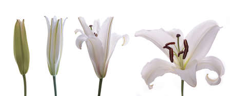 Different stages of an Asian Lily