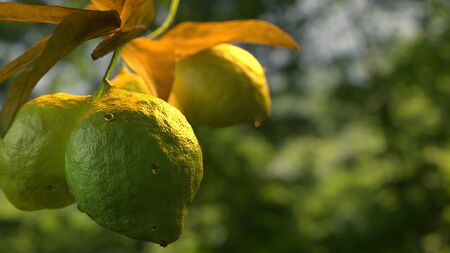 Lemon lime hanging on tree branch