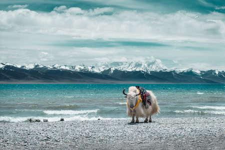The edge of the mountain lakes of white yak