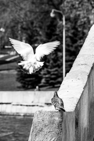 A couple of pigeons on the parapet. White dove with wings outstretched, like an angel. 免版税图像