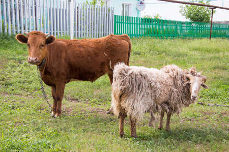 heifers: heifers and sheep graze around the house in the village Stock Photo