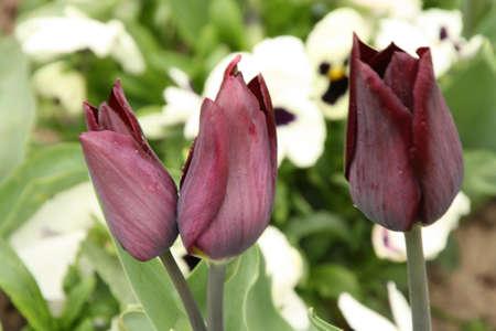 frhling: Tulpen im Frühling Stock Photo