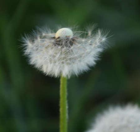 pflanze: L�wenzahn Stock Photo