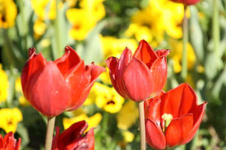 blumen: Tulpen or gelbem Hintergrund