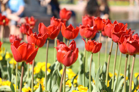 frhling: rote Tulpen