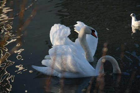 Two Swans on the River Neckar