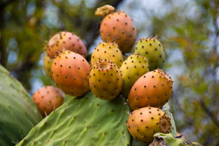 microdasys: OPUNTIA MICRODASYS in La Palma, Canary islands