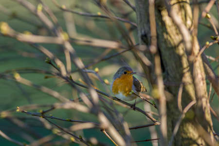 erithacus rubecula: European Robin Redbreast - erithacus rubecula melophilus - perched on branch Stock Photo