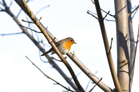 redbreast: European Robin Redbreast - erithacus rubecula melophilus - perched on branch Stock Photo