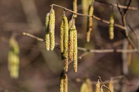 albero nocciola: Blooming nocciolo su sfondo marrone sfocato Archivio Fotografico