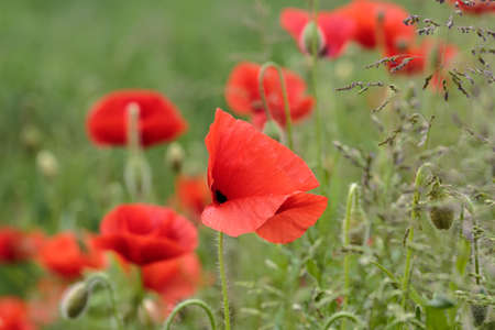 papaver: Field of Corn Poppy Flowers Papaver rhoeas in Spring Stock Photo