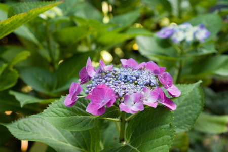 Closeup of blooming purple hortensia flower hydrangea serrata flower with natural green background. Selective focus. Shallow depth of field.