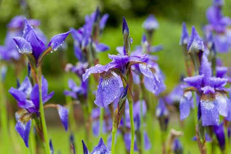 Close-up van de bloeiende purpere sibirian iris van Iris sibirica in de lente met regendruppels voor natuurlijke groene achtergrond. Selectieve aandacht. Ondiepe scherptediepte.