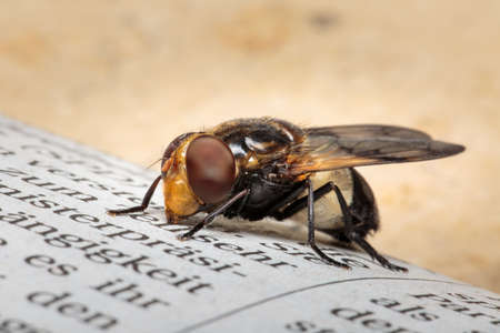 Close up of Volucella pellucens pellucid hoverfly sitting on newspaper with bright brown background and copyspace. Selective focus. Shallow depth of field.