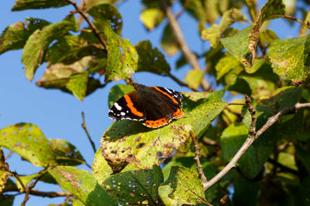 Close up of red admiral butterfly vanessa atalanta. Selective focus. Shallow depth of field. Stock Photo