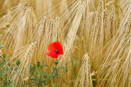 the loire: Close up of corn poppy in wheat field. Selective focus. Shallow depth of field.