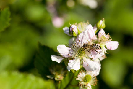 Closeup of apis honey bee visiting  flower rubus in spring in front of natural green background. Selective focus. Shallow depth of field.