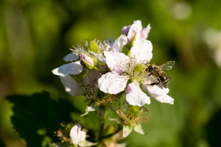 Closeup of apis honey bee visiting flower rubus in spring in front of natural green background. Selective focus. Shallow depth of field. Stock Photo