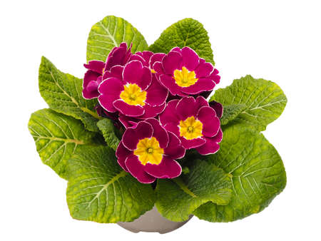 Primula vulgaris, the common primrose a flowering plant in the family Primulaceae on white background Stock Photo