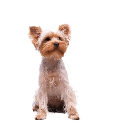 Cachorro yorkshire terrier en el fondo blanco photo
