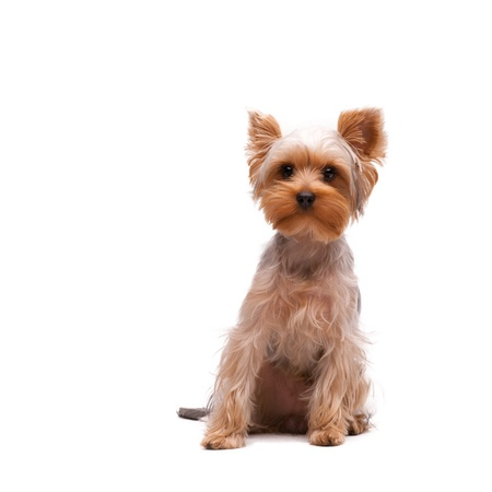 yorkie: Puppy yorkshire terrier on the white background