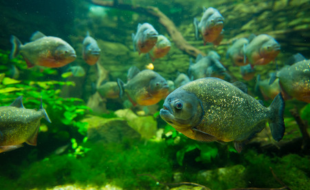 Piranha in aquarium photo
