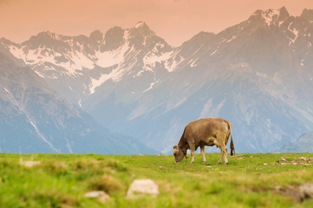 Cows in an Alpine meadow photo